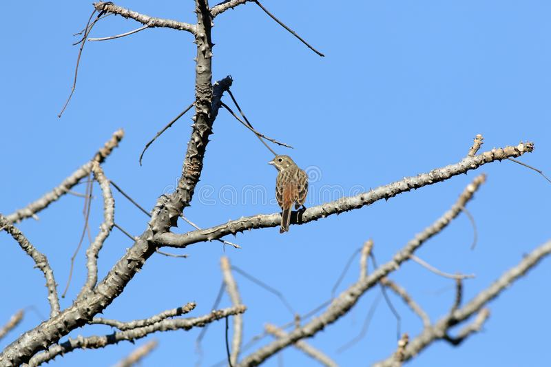 Rock bunting. The rock bunting is a passerine bird in the bunting family Emberizidae, a group now separated by most modern authors from the finches, Fringillidae stock photography