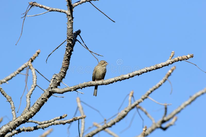 Rock bunting. The rock bunting is a passerine bird in the bunting family Emberizidae, a group now separated by most modern authors from the finches, Fringillidae stock photo