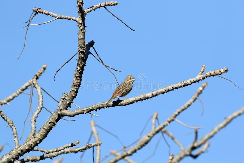 Rock bunting. The rock bunting is a passerine bird in the bunting family Emberizidae, a group now separated by most modern authors from the finches, Fringillidae stock images