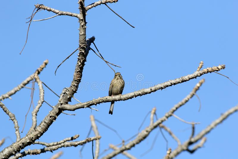 Rock bunting. The rock bunting is a passerine bird in the bunting family Emberizidae, a group now separated by most modern authors from the finches, Fringillidae royalty free stock photo