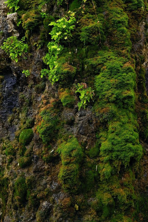 Rock covered with soft green musk. A thin stream of water flows slowly over the stone covered with soft green musk stock photos