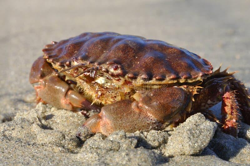 Download Rock Crab stock photo. Image of shore, exoskeleton, pincer - 22598708