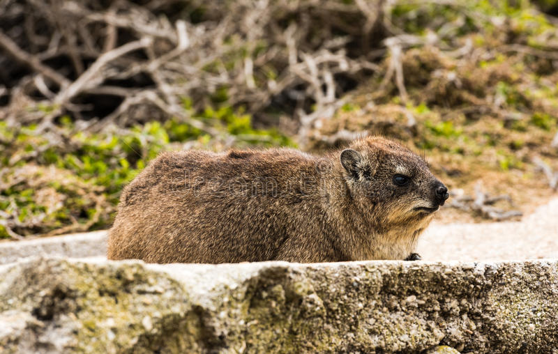Rock dassie on the rock in South Africa. Rock hyrax or rock dassie on the rock near Cape Town, South Africa royalty free stock image