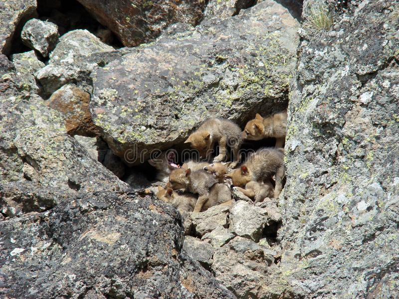 Coyote puppy pile stock images