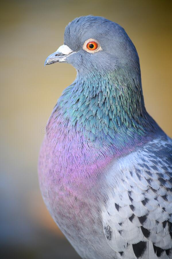 Rock dove or common pigeon or feral pigeon close up in Kelsey Park, Beckenham, Greater London royalty free stock image