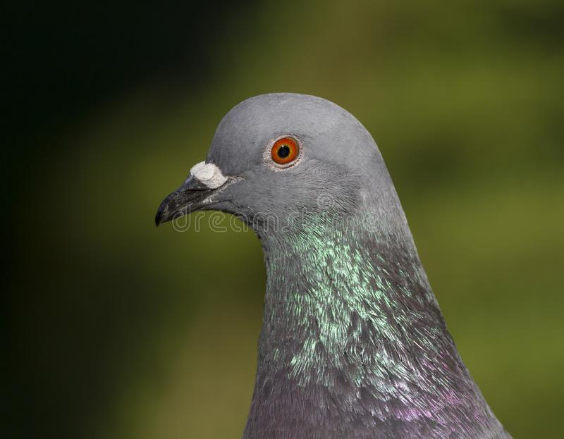 Rock dove or pigeon, columba livia. Portrait royalty free stock image