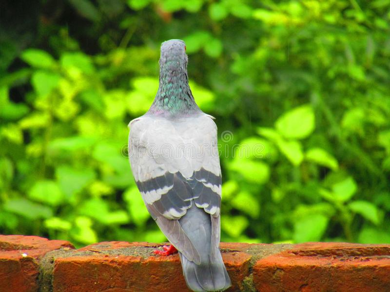 Rock dove or rock pigeon or common pigeon Columba livia is a member of the bird family Columbidae. Beautiful Rock dove or rock pigeon or common pigeon Columba royalty free stock photos