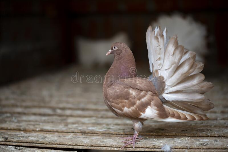 The rock dove, rock pigeon, or common pigeon stock image