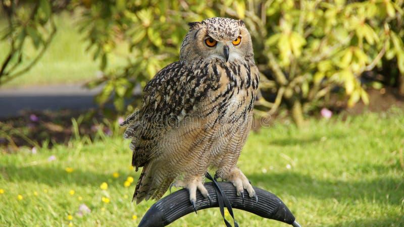 Rock Eagle Owl. Closeup of Indian eagle-owl or Oehoe (Bubo bengalenis stock image
