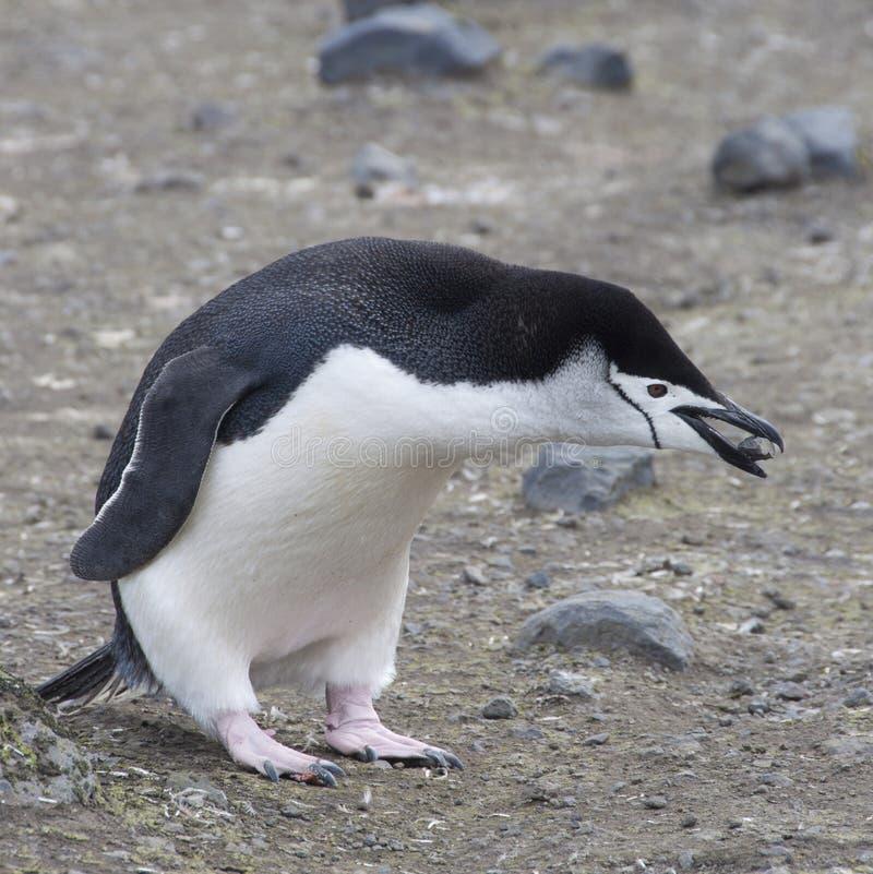Rock för Chinstrap pingvinholding. fotografering för bildbyråer