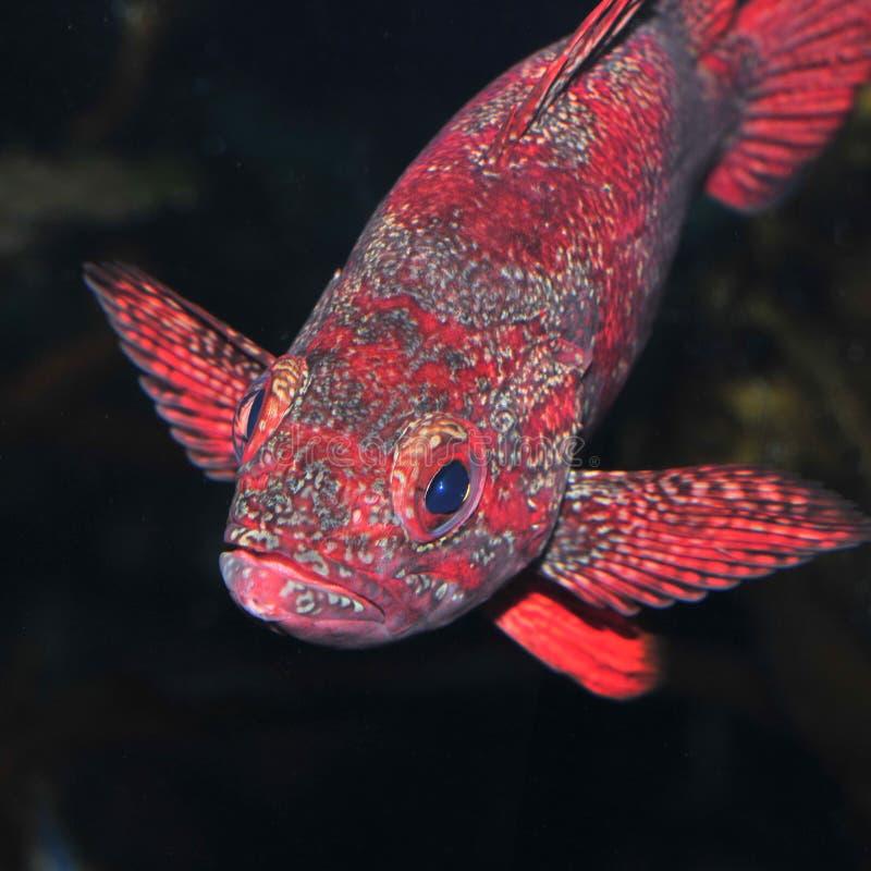 Free Rock Fish Stock Photography - 8862222