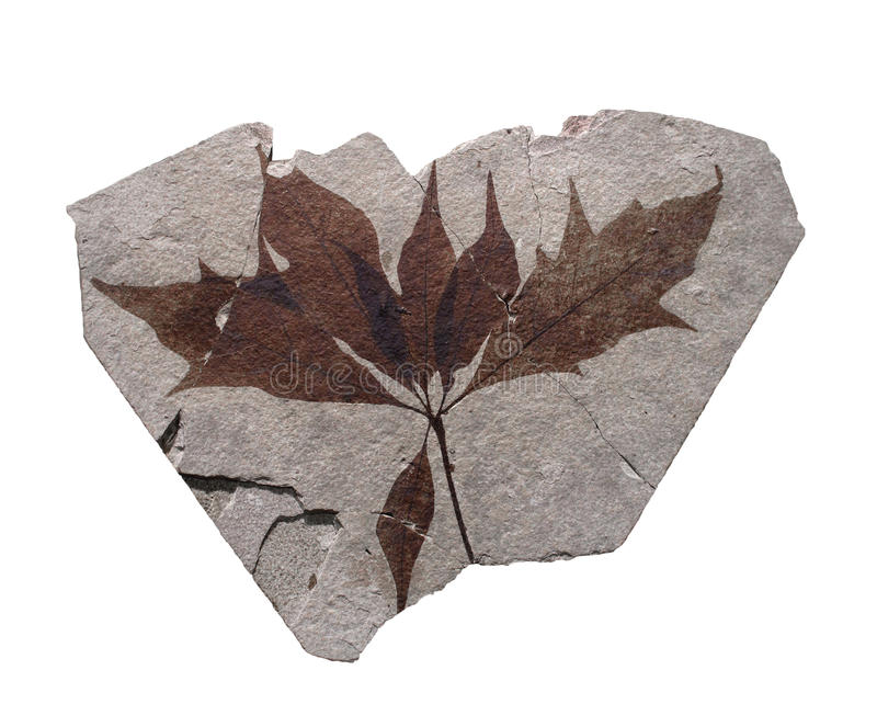 Rock with fossil leaves isolated. royalty free stock photos