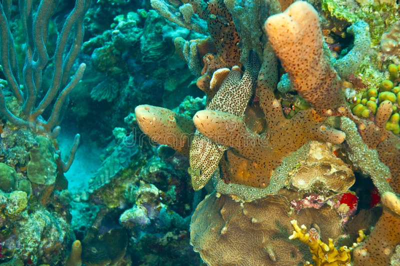 Rock hind camouflaged by coral royalty free stock photo