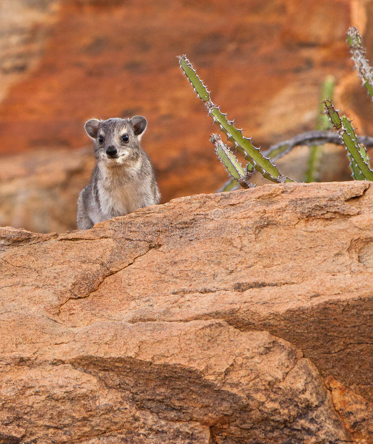 Download The Rock Hyrax Royalty Free Stock Photo - Image: 24040225