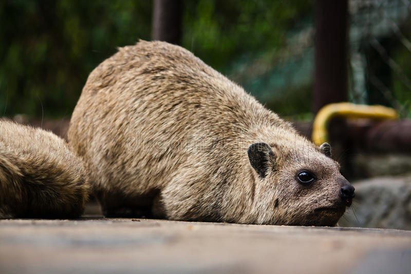Rock hyrax. Scientific name of the species: Procavia capensis. This animal is also known as pimbi or dassie.Rock hyrax royalty free stock photo