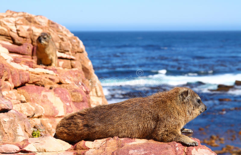 Download Rock Hyrax Royalty Free Stock Photography - Image: 27597917