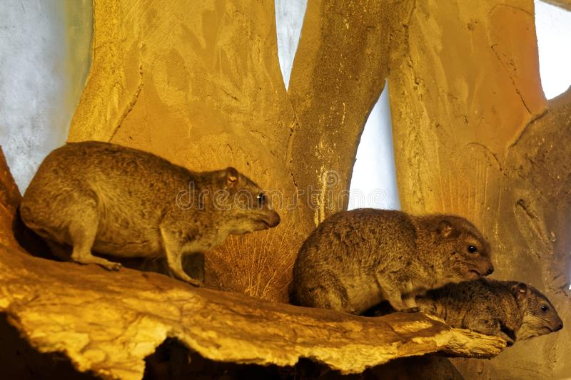 Download Rock Hyraxes stock photo. Image of wildlife, animals - 87394330