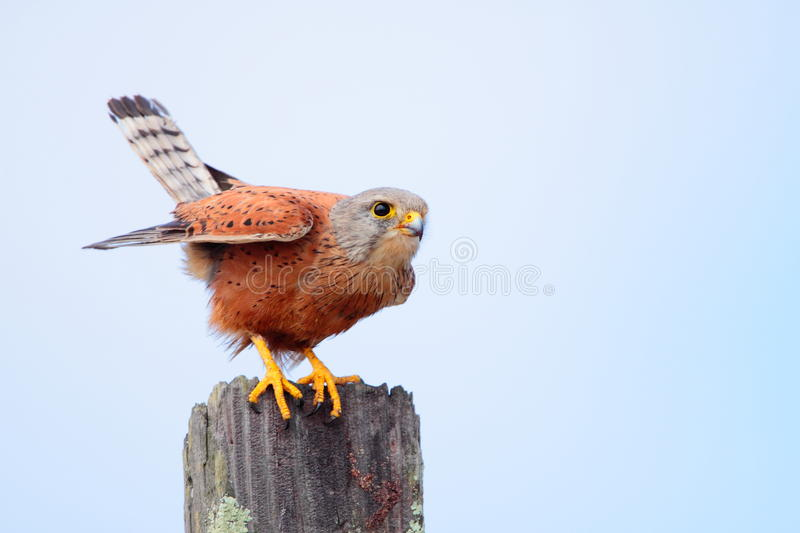 Rock Kestrel. Photographed in Langebaan South Africa stock photos