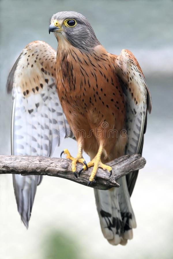 Rock Kestrel Bird. Of prey resting on a branch with wings open stock photography