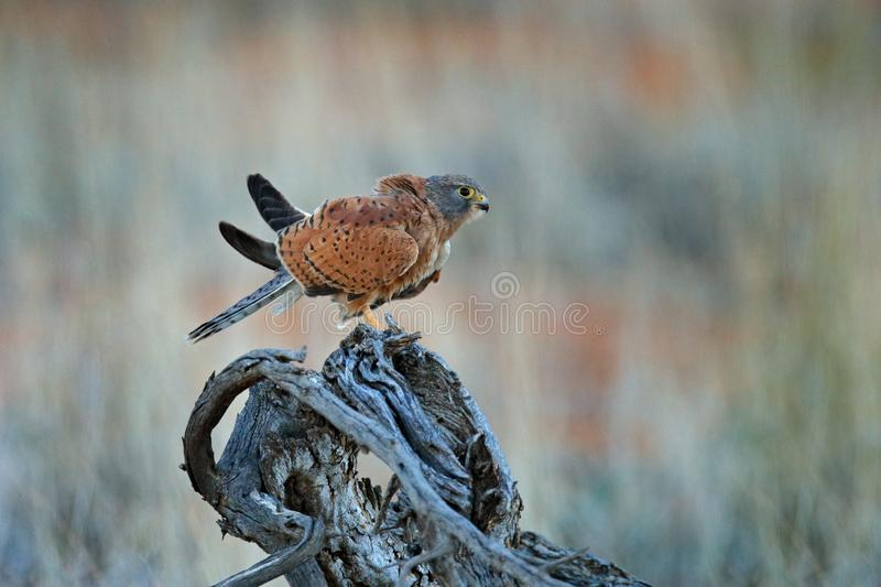 Rock kestrel, Falco rupicolus, sitting on the tree branch with blue sky, Kgalagadi, Botswana, Africa. Bird of prey in the nature. Habitat. Wildlife scene from royalty free stock images