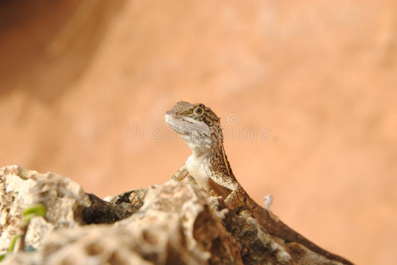 Lizard on the rocks royalty free stock photography