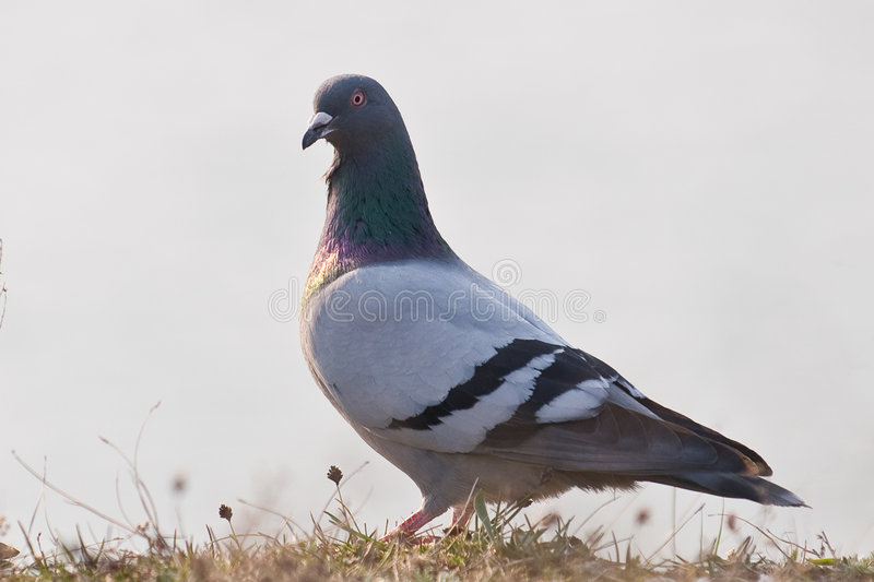 Rock Pigeon Stock Photography