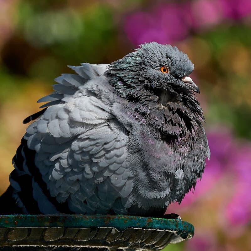 Rock Pigeon Bathing Columba livia royalty-vrije stock fotografie