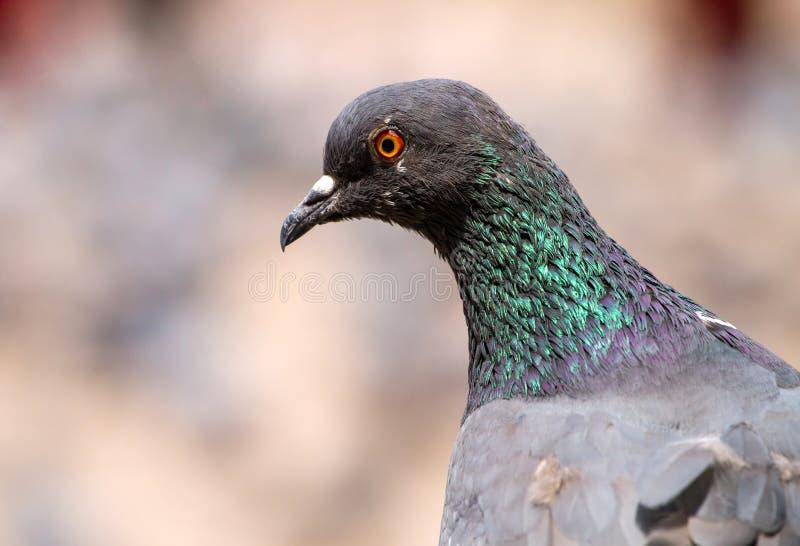 Rock Pigeon close-up portrait. Serious rock Pigeon close-up portrait royalty free stock images