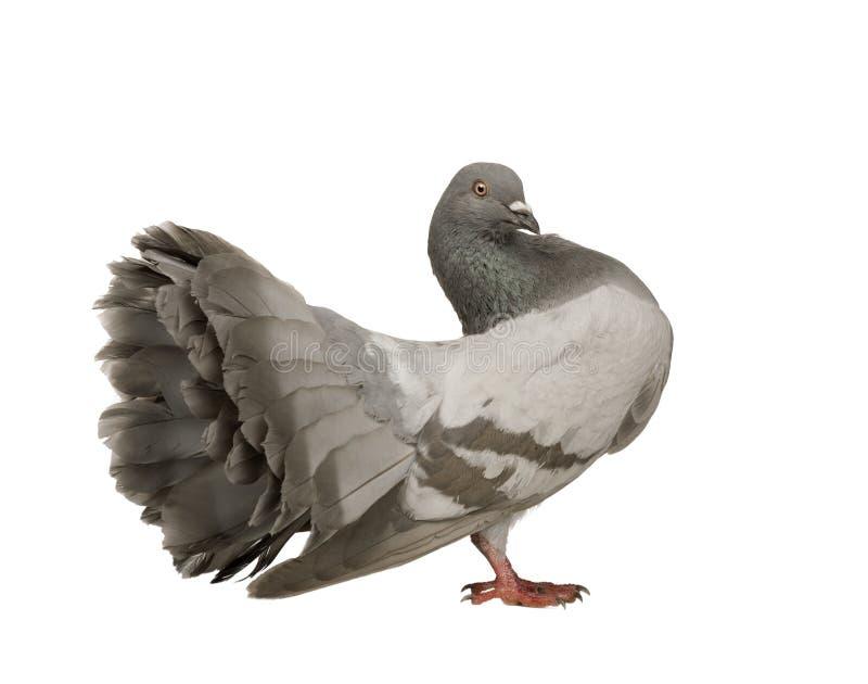Rock Pigeon - Columba livia royalty free stock photo