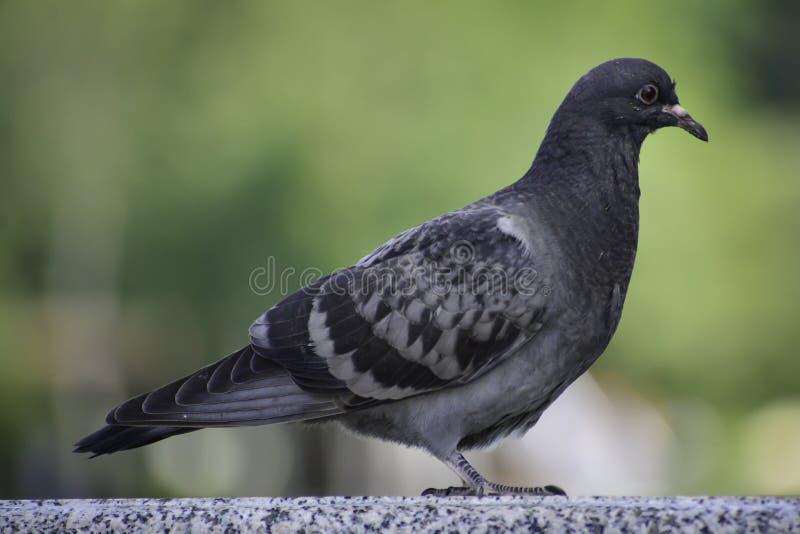 The rock pigeon (columba livia) stans on a marble railing. Animal, life, animals, europe, russia, aves, bird, birds, columbidae, common, pigeons stock image