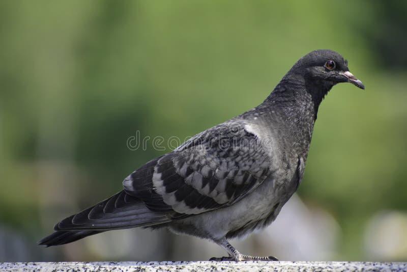 The rock pigeon (columba livia) stans on a marble railing. Animal, life, animals, europe, russia, aves, bird, birds, columbidae, common, pigeons stock photo