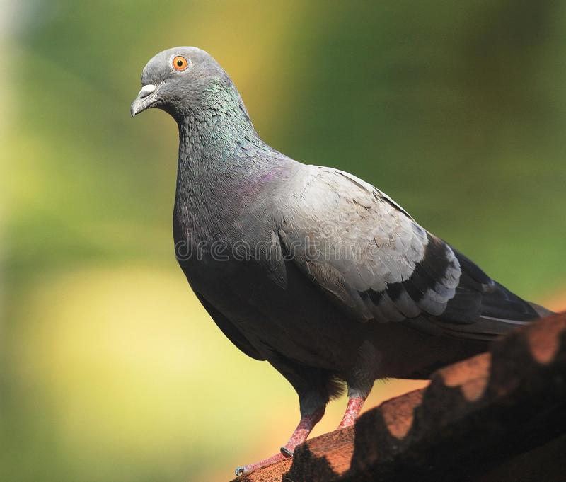 The Rock Pigeon on Roof ! royalty free stock photography