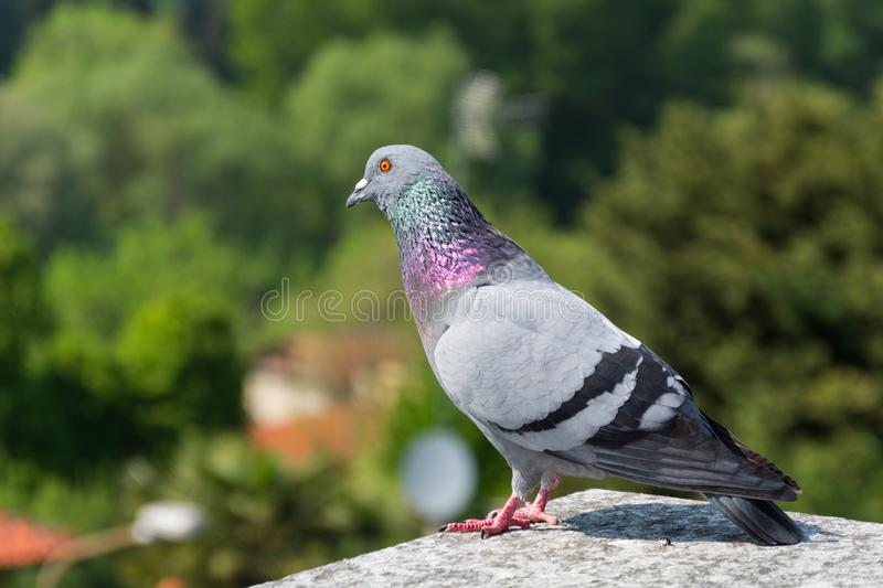 Rock pigeon standing on a rock royalty free stock photography