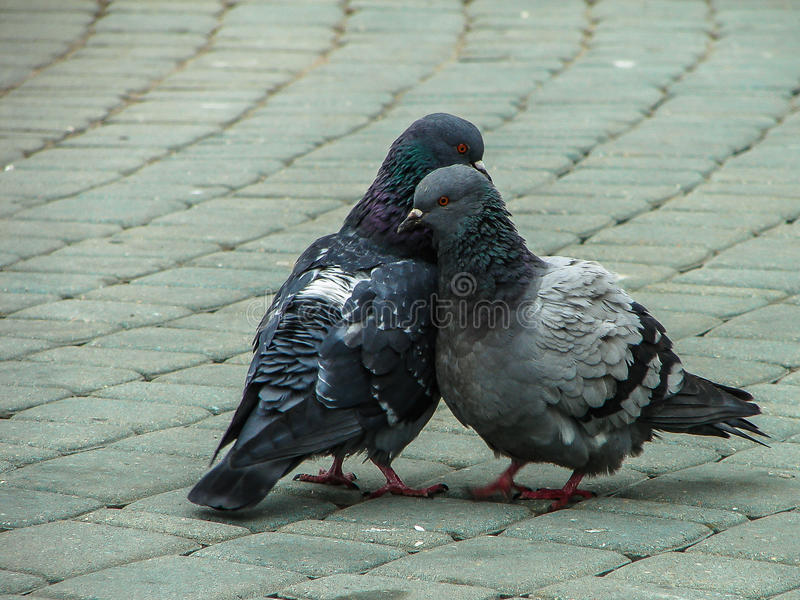 Rock pigeons in the Park during mating season. Dove (lat. Columba livia) — widespread bird of the pigeon family, which is considered the birthplace of stock photo