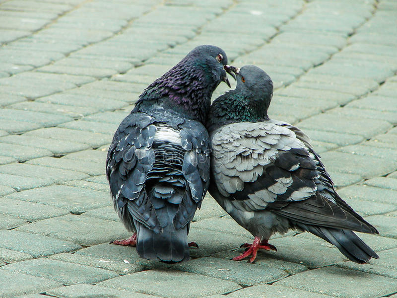 Rock pigeons in the Park during mating season. Dove (lat. Columba livia) — widespread bird of the pigeon family, which is considered the birthplace of stock images