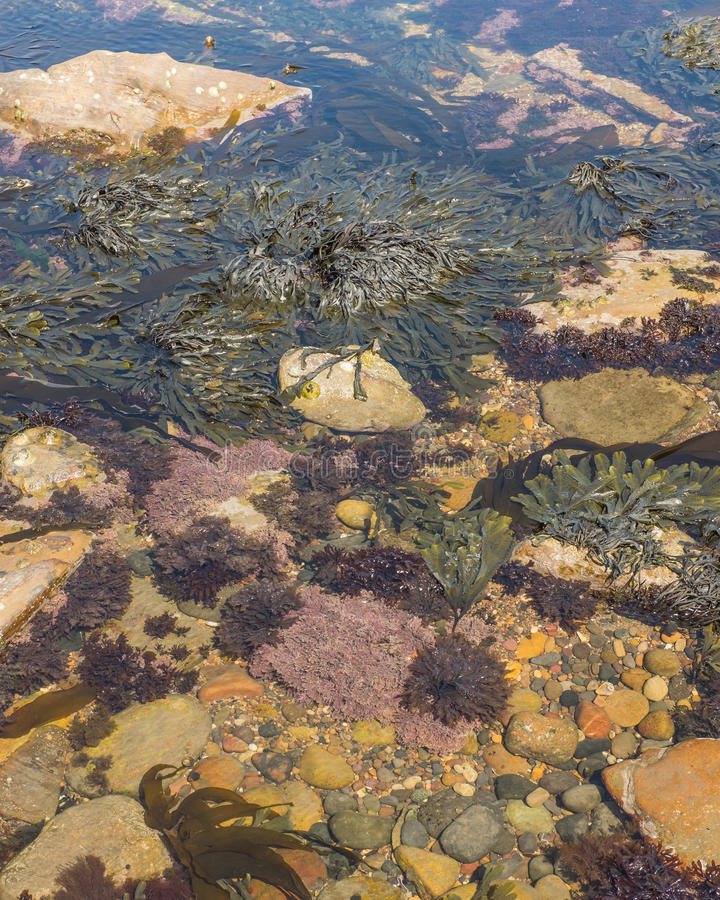 Rock pool with seaweed at seaside royalty free stock photo
