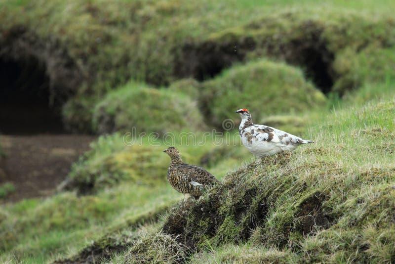 rock ptarmigan (Lagopus muta) Island arkivbild