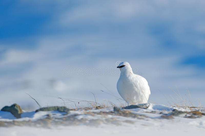 Rock Ptarmigan, Lagopus mutus, white bird sitting on snow, Norway. Cold winter, north of Europe. Wildlife scene in snow. White bir royalty free stock photos
