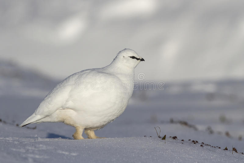 Rock Ptarmigan male who goes on winter tundra. Bering Island royalty free stock photography