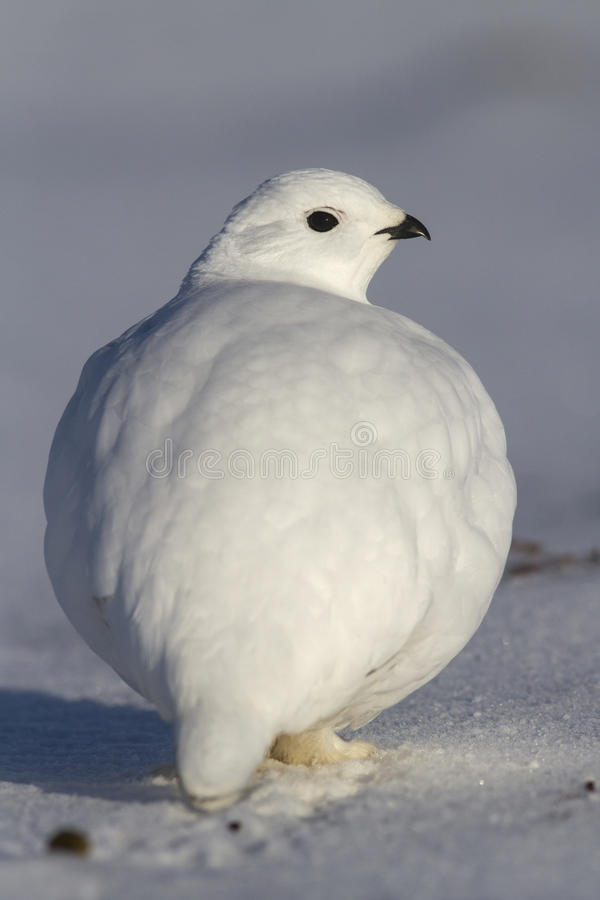 Rock Ptarmigan which stands in the snow on winter tundra. Bering Island royalty free stock photos