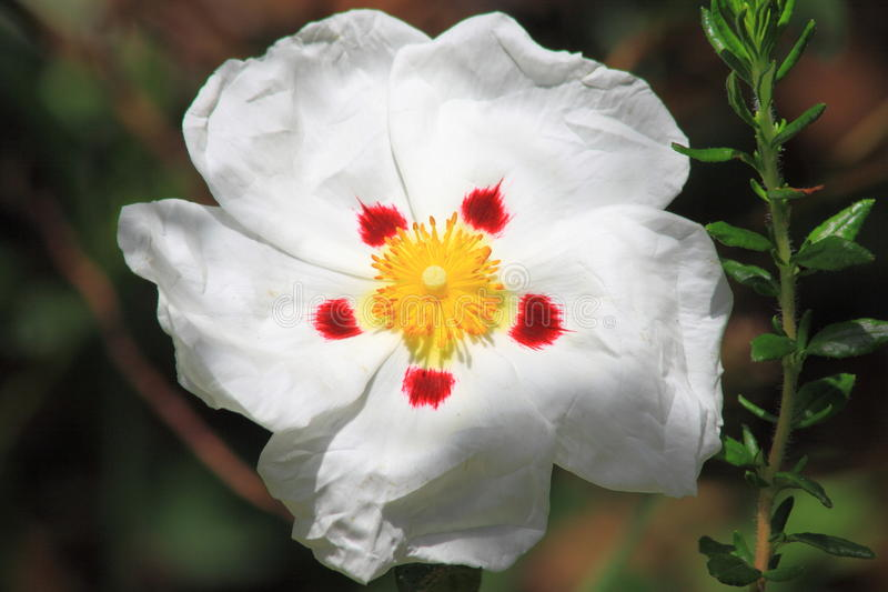 Rock Rose. Or Cistus ladanifer maculatus royalty free stock image