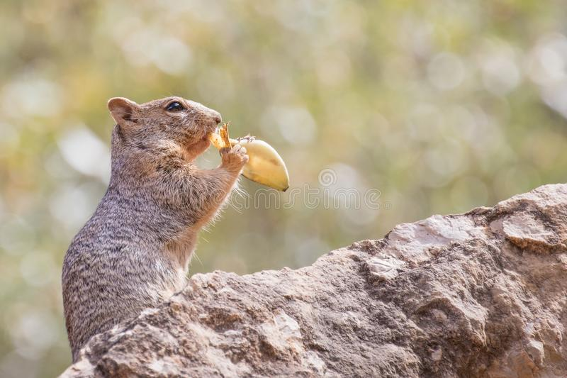 Rock squirrel eating a banana leaf in the Grand Canyon. Rock Squirrel eating a banana leaf left by a hiker in the Grand Canyon, AZ stock image