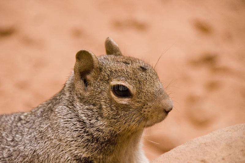 Rock Squirrel with a fly on his head stock photography