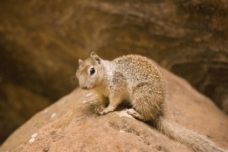 Rock Squirrel looking for the photograph stock photo