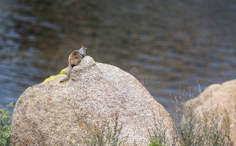 Rock Squirrel, Granite Dells and Lake Watson Riparian Park, Prescott Arizona USA. The rock squirrel is a species of rodent in the family Sciuridae and is native royalty free stock photo