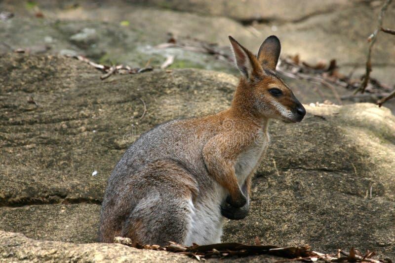 Download Rock Wallaby stock image. Image of marsupial, brown, australia - 3276939