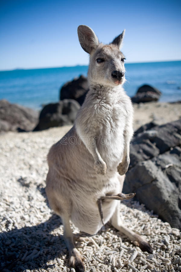 Free Rock Wallaby With Baby Joey Stock Images - 36353764