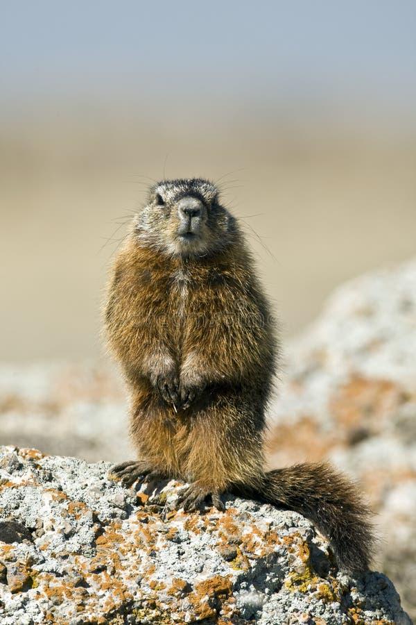 Rockchuck (caligata do Marmota) foto de stock