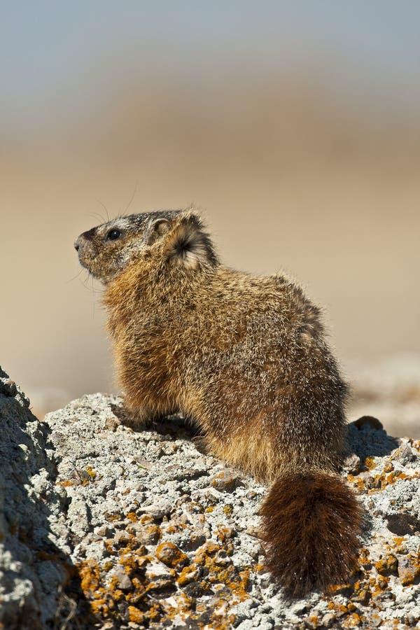 Rockchuck (caligata Marmota) στοκ εικόνα με δικαίωμα ελεύθερης χρήσης