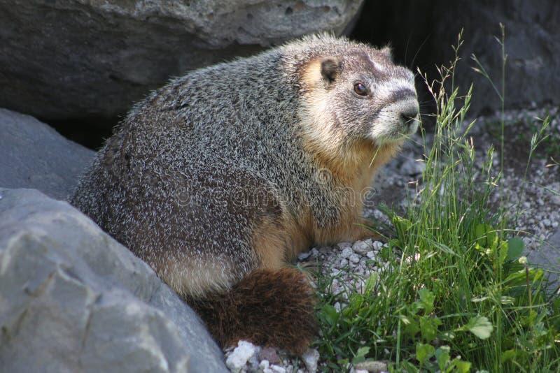 Rockchuck (flaviventris del Marmota) imagen de archivo libre de regalías